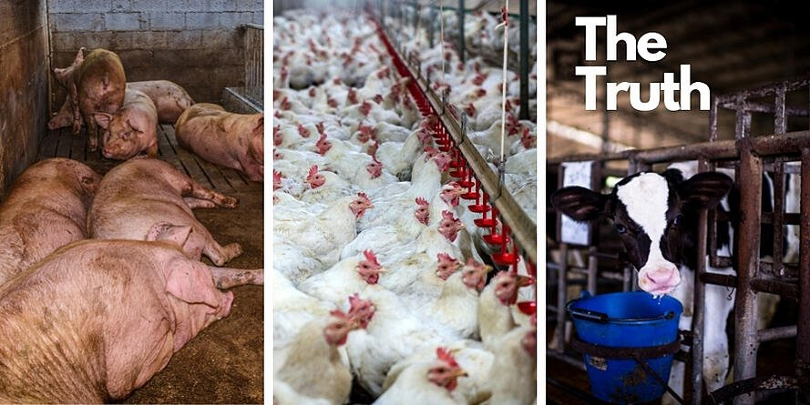 Assuaged-The-Truth-Factory-Farms-1