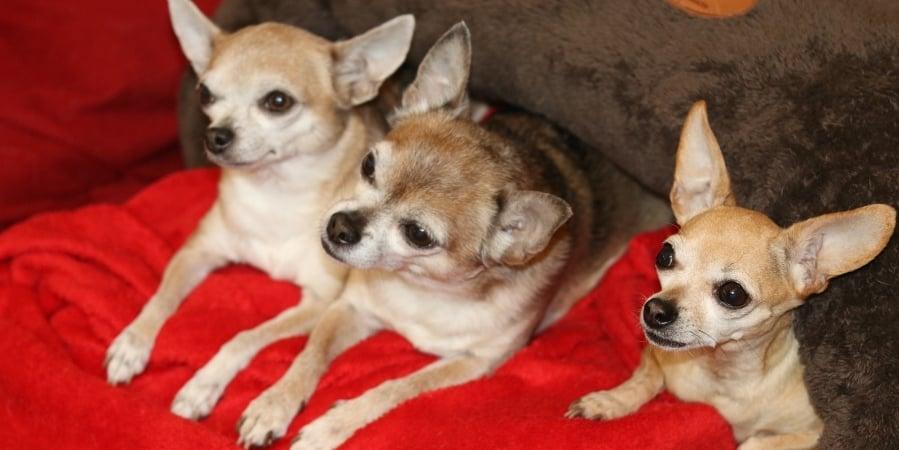 female-canine-dog-pyometra-a-silent-killer 1