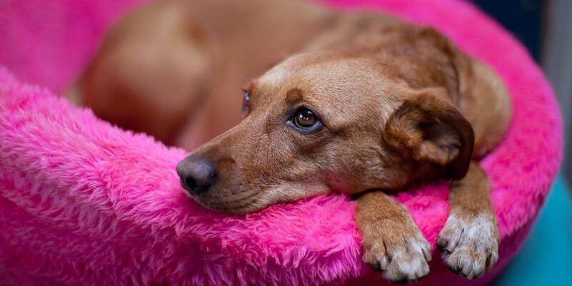 female-canine-dog-pyometra-a-silent-killer 2