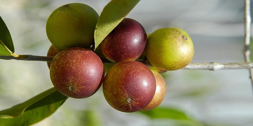 the-health-benefits-of-organic-camu-camu-powder 1