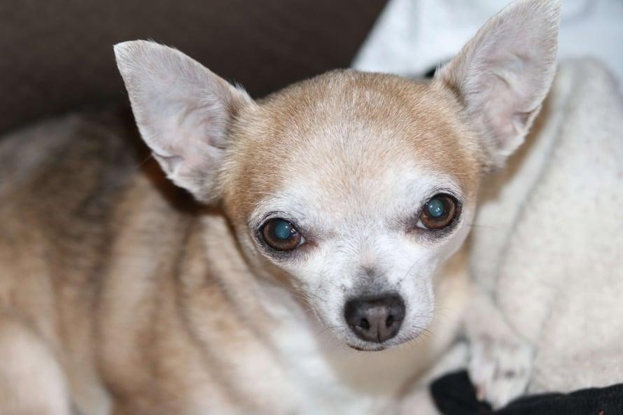 female-canine-dog-pyometra-a-silent-killer-Dolly